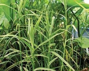 Bambou Bambusa